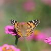 10/8/2016・深まる秋の蝶 〜 ヒャクニチソウの花にヒメアカテタハがやってきました