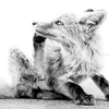 PORTRAIT KITA-KITUNE (Ezo red fox) - monochrome #0704