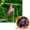 【お買い得セット】 チェリーレッドシュリンプ6匹とカバクチカノコ貝1匹のセット
