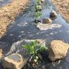大豆栽培報告~ちょっとした実験