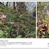 山の自然学カレンダー2021 3月・小川町の里山風景-カタクリとシュンラン