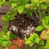 浜松市で庭木に巣を作っていたアシナガバチを駆除してきました!