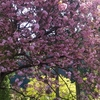 新緑に映える、桜