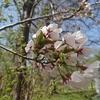 先日桜を見に行ってきました