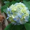 紫陽花の季節を迎えて、もはや8年。