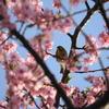 河津桜を見に三浦海岸桜まつりへ 2019