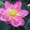 タイ湖に蓮を見に行く~ハノイの真夏のお花見