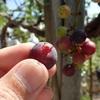 葡萄 収穫してみました Grapes