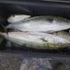 ランクC.今年の積丹遠征は・・・。/今日の沙留港釣り情報「チカの群れ発見」