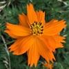 キバナコスモスの花