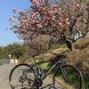 今年は最後の桜になるだろうなんて思いつつ