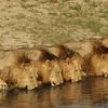 死闘!ライオン6兄弟の宿命