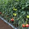 夏野菜の収穫が最盛期を迎えています。また秋冬野菜の準備を開始しました (^o^)