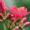 今日の誕生花「ナンヨウザクラ」ナンヨウザクラ科とトウダイグサ科の2種類がある花!