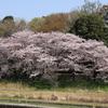 野川の桜を楽しみながら深大寺まで散策しました