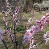 枚方の山田池公園の梅と桜と猫