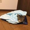 毛布に包まれる猫。