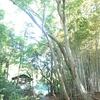 激闘な3日間 大きなカシの木登り伐採など