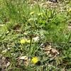 茎のあるタンポポと茎の無いタンポポ
