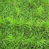 自然栽培の現状を解説Part2「自然栽培稲作の雑草はカヤツリグサ系に気をつけろ」