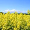 菜の花の季節【3】