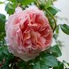 早咲き種の一番花が咲き始めました