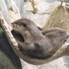 水族館 コツメカワウソがやって来たよ! 新江ノ島水族館