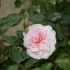 2021早咲きのバラ開花