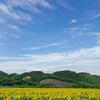 観光農園花ひろばの広大なひまわり畑