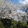 満開の桜の花見を楽しむ 心の癒やし