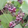 クズ 葛(葛根)の効能・効果「急性腸炎」どんな花?栽培方法