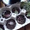小さな多肉植物を育てるチャレンジ!と、プラント・ミルク