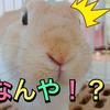 【うさぎのサスケ先輩】うさぎの家庭内順位は半端ない差がある!?ウサギの動画を毎週配信しています♪