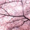 恵比寿から神奈川県に引っ越したいと思いながら、さくらを眺めた。