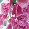 今日の誕生花「ジキタリス」花色が豊富でイングリッシュガーデンに多い花!