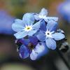今日の誕生花「ワスレナグサ」