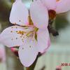 待望の『アーモンド』の花🌸が咲きました。