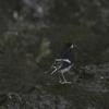 滝を歩くシロクロビタキ(Little Forktail)