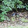 雨のちコルリ、さらにはオオタカ(大阪城野鳥探鳥 2017/08/26 5:05-12:00)