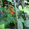 いろいろビーンズの花も色々