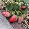 家庭菜園で一番美味しくできたイチゴの品種は?