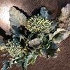 黒ニンジン・黄色い人参・オレンジ色人参・葱・茎ブロッコリーの成長記録 8 茎ブロッコリーを食べた♡