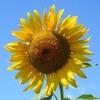 今日の誕生花「ヒマワリ」太陽のイメージが強い夏の花!