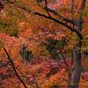 カエデモミジ 紅葉の新宿御苑 Acer palmatum