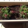 養父市産の花の苗植え替え