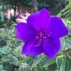 シコンノボタンの紫紺