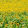 名古屋駅から観光農園花ひろば『夏だ!暑い!ひまわりを見に行こう!』