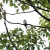 各所でムシクイとコサメビタキ(大阪城野鳥探鳥 2017/08/19 5:05-11:15)