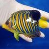 【現物7】インドニシキヤッコ 12.5cm±!海水魚 ヤッコ15時までのご注文で当日発送【ヤッコ】