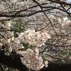 目黒川へお花見に行ってきました!